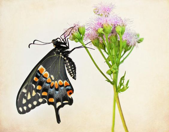New print available on fineartamerica.com! - 'Black Swallowtail Butterfly' by David and Carol Kelly -