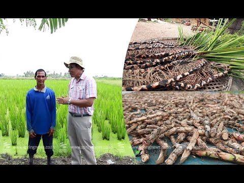 """เศรษฐีเกษตร 31/10/58 : """"การปลูกว่านน้ำ"""" ส่งโรงงานยาไทย"""