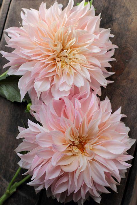 Café au Lait dahlias. Blush pink flowers for a late summer autumn wedding.#flower #blush  #caféaulait #dahlia