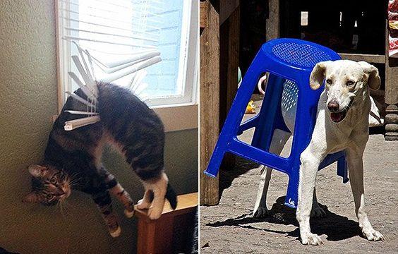 À esq., na tentativa de um pulo, o gatinho acabou preso na cortina. À dir., tudo por um restinho de comida: este cão se enfiou dentro da lava-louças (Foto: Reprodução/Bored Panda)