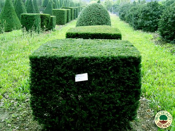 Topiaries taxus baccata and cubes on pinterest for Specimen evergreen trees small