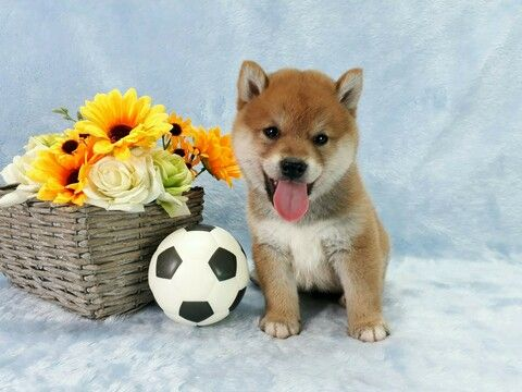 Shiba Inu Puppy For Sale In San Jose Ca Usa Adn 111757 On