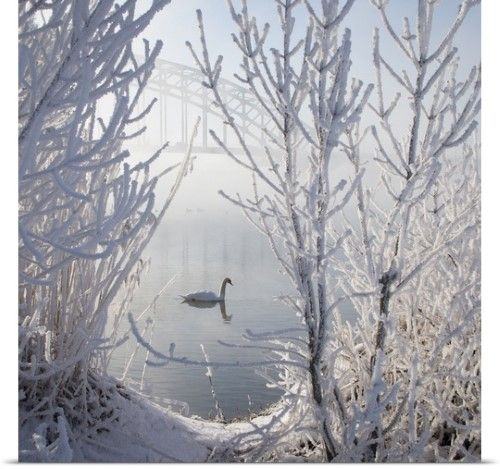 Poster Print Wall Art Print entitled Lonely swan in ice snow covered landscape with bridge in background throughout mist., None