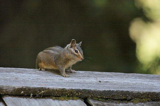 Long-Eared Chipmunk | Long-eared Chipmunk