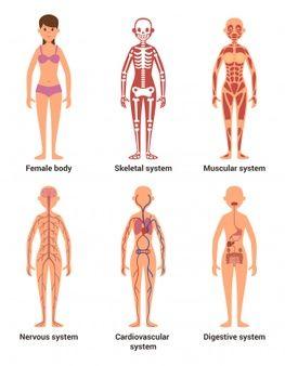 Anatomia De La Mujer En 2020 Con Imagenes Sistemas Del Cuerpo