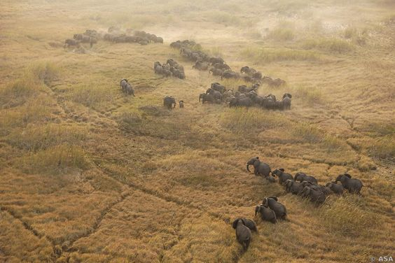 Large herd of elephants grazing in the Sudd Swamp South Sudan.