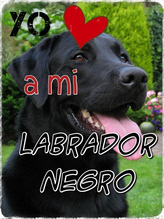 Yo <3 a mi Labrador negro