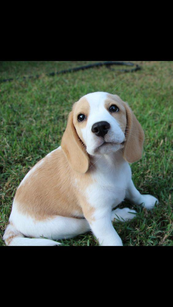 ❤️. It's a baby Squishy Lemon Beagle!!!!!!!
