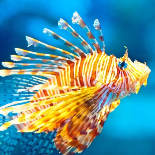 Tiger stripes tropical orange with splashes of blue for Tiger fish pictures
