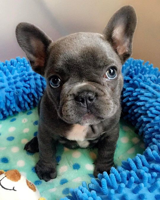 Available Puppies Heather French Bulldog French Bulldog French Bulldog Dog Frenchie Bulldog