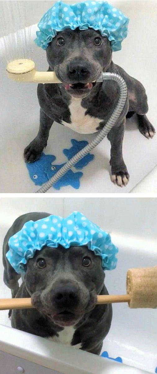 Blue Bully Bath Time 0 Cute Dogs