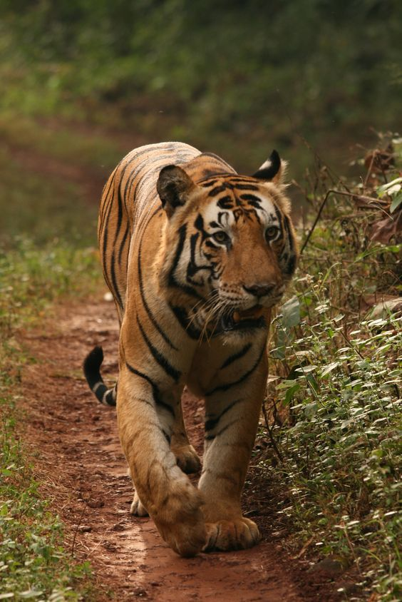 Look out for the Bengal tiger while on a jeep safari in Chitwan National Park