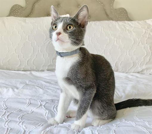 Austin Tx Domestic Shorthair Meet A Pet For Adoption In 2020 Pets Austin Texas Pet Adoption