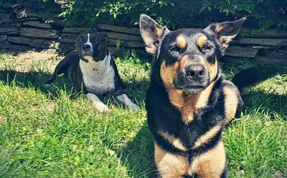Fur babies. Pitbull german shepherd rottie mix breed
