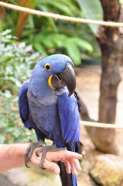 Hyacinth Macaw...the star in Rio :b: Favorite Birds, Nature Animals, Cage Birds, Animal Secrets, Star, Bird Lover, Pet Parrots, Birds Pet, Hyacinth Macaw