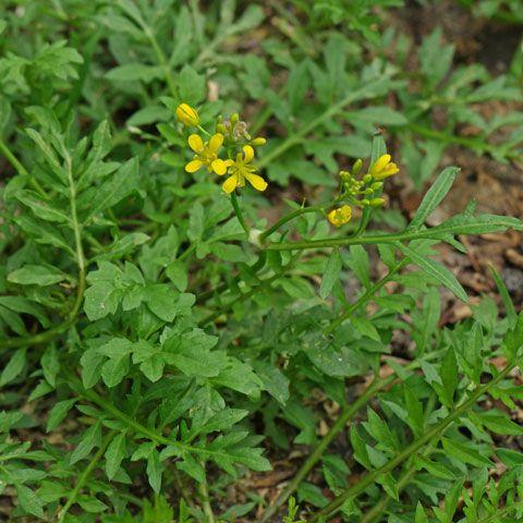 Unkraut Und Wildpflanzen Pflanzen Unkraut Wild