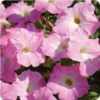 Easy Wave™ Mystic Pink Spreading Petunia