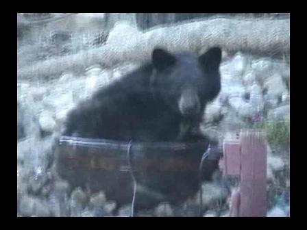 Bear bathes in backyard fountain