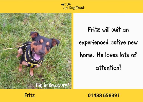 Fritz at Dogs Trust Newbury loves to be centre of attention but very demanding so will need an experienced adult home who will have the time and patience to continue with his training programme.