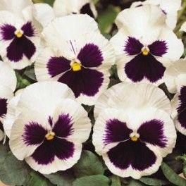 Amor Perfeito Branco Dinamite: 15 Sementes