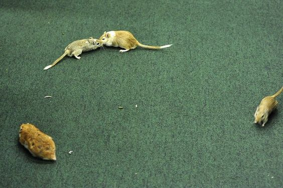 ratos cpi petrobras vaccari pt