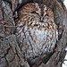 BG5Z9614 Tawny Owl by sparky Ian Clarke