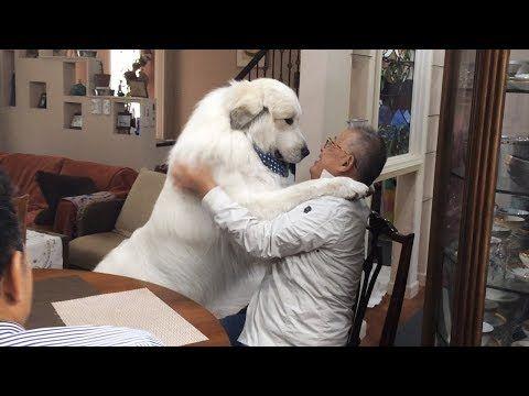 グレートピレニーズのルンルンちゃんとアランくんが大好きな人はブリーダーさん 嬉しくてアランくんは立ち上がって抱きついてしまいました 2021 グレートピレニーズ 可愛いワンちゃん 大型犬