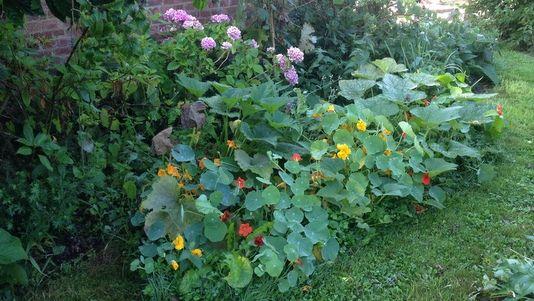 Capucines Et Courgettes Semees Dans Un Coin Ombrage Du Jardin
