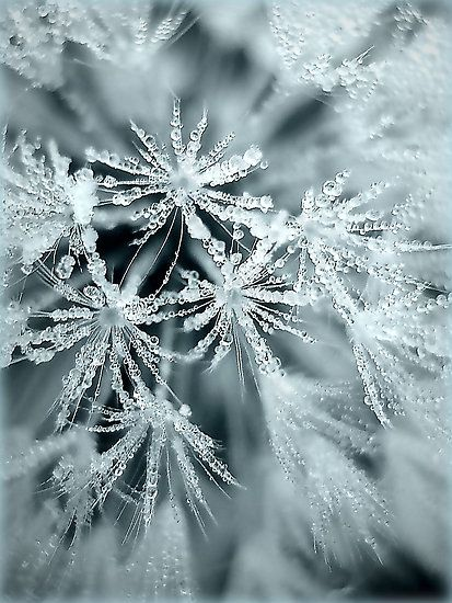 ~~~Dream a wish on a frosted dandelion~~~for Christmas! <3