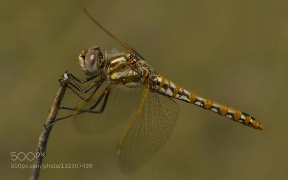 golden dragon by bjbutcher