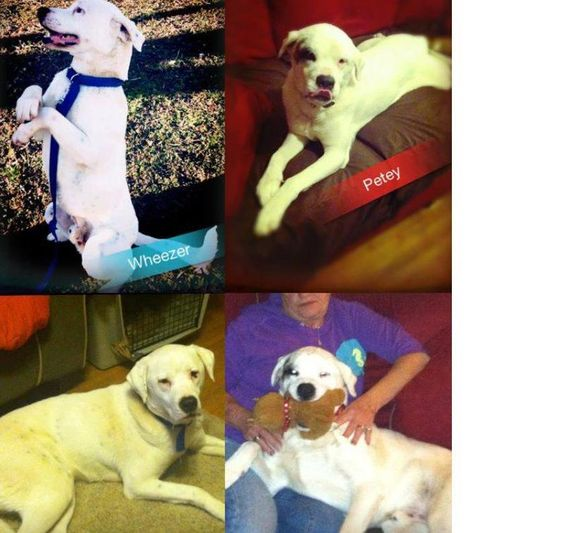 Petey and WheezerHi we are Petey (spotted eye) and Wheezer.  We are lab mixes looking for our forever home.  We are currently living with a wonderful foster family that saved our lives.  We would be happiest if we can stay together.  We are...
