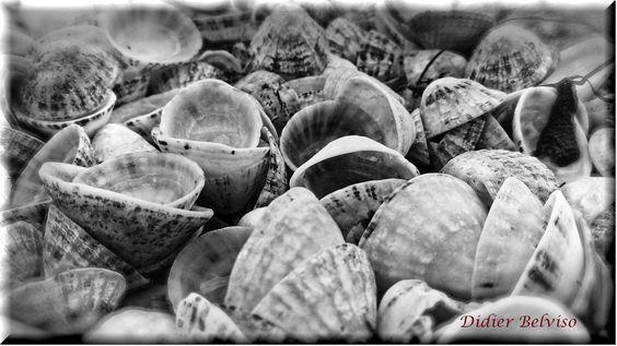 Le cimetière des gastéropodes marins....