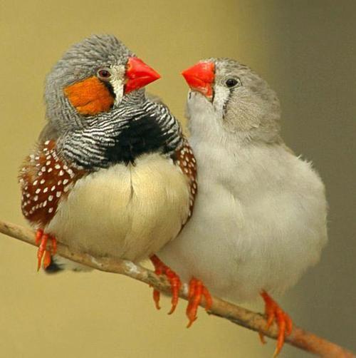Lustige Vögel mit roten Schnäbeln