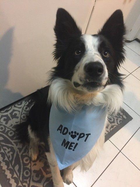 Adopt Bruno On Australian Shepherd Pets Border Collie