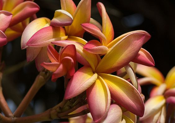 Plumeria rubra (Apocynaceae) | Flickr - Photo Sharing!