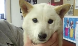 Keiko is an adoptable Shiba Inu Dog in Libertyville, IL. Keiko is a wonderful, small Shiba Inu weighing in at a small 10lbs. She is pure white which is very uncharacteristic of a Shiba Inu. She is fri...