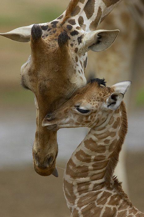 Mother and young giraffe