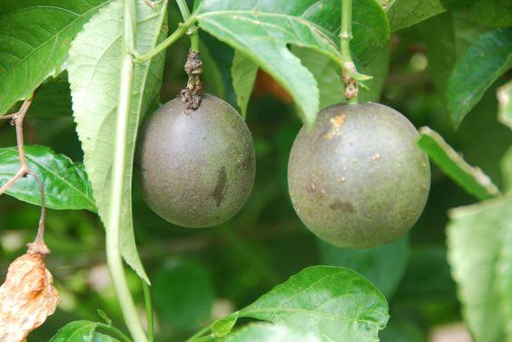 fruto maracujá roxo