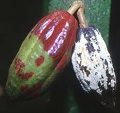 Monoliophthora roreri (Frosty Pod Rot) Pandemic Cacoa pod rot.