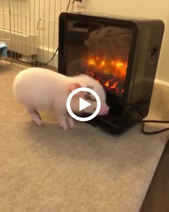 o porquinho gosta de relaxa na frente da lareira