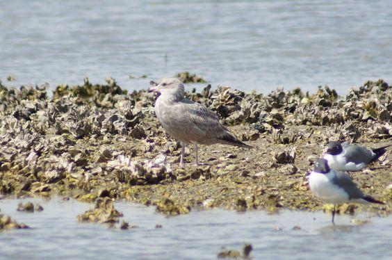 Herring Gull - South Padre Island, TX    3/13/13
