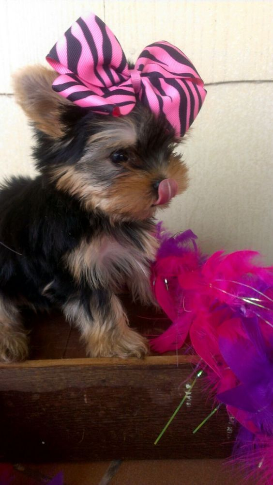 Wild West Yorkies, Txyorkie.com, Yorkie Puppies for sale in Texas, past puppies, black and gold yorkies, parti yorkie puppies