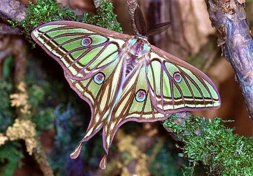 Luna Spanish Moth Source Unknown Beautiful Butterflies Moth Animals Beautiful