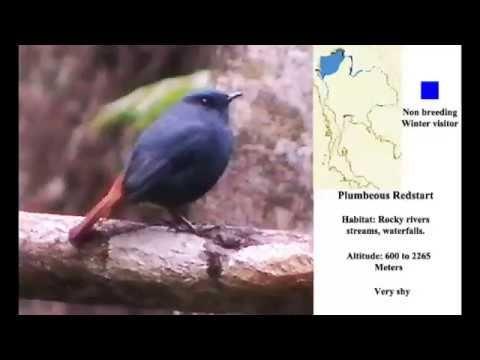 Plumbeous Redstart Bird Video Bird Gif Redstart Birds Bird