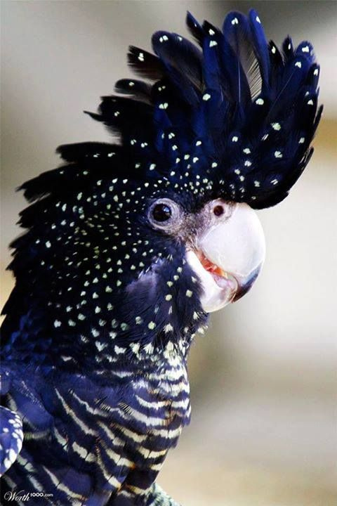 Red Tailed Black Cockatoo with spots, dots and stripes! a real beauty with the deep blue color.: