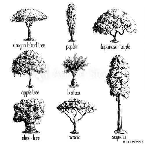 Set Of Hand Drawn Tree Sketches Apple Tree Olive Japanese Maple Acacia Brahea Poplar Sequoia Dragon Maple Tree Tattoos Tree Sketches Tree Tattoo Small