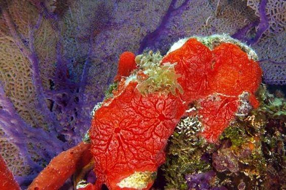 Animais mais velhos do mundo, as esponjas são fontes de compostos que podem resultar na produção de medicamentos contra diversas doenças, indica pesquisa conduzida pelo grupo de Roberto Berlinck na USP (foto: Monanchora arbuscula/Wikimedia Commons)
