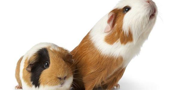 Consejos para cuidar a un conejillo de indias