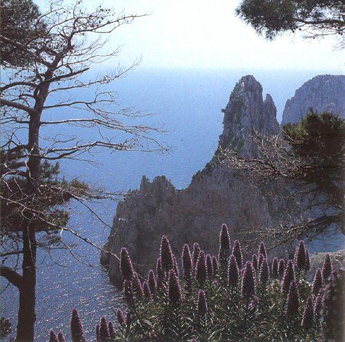 Echium fastuosum...common flowers in Capri....Naples