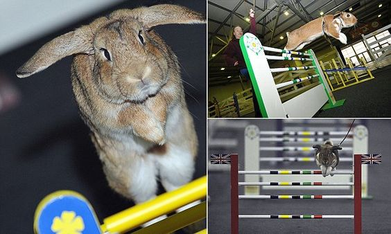 Show-jumping rabbits show off their hopping skills #DailyMail